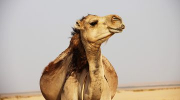 Pelicans and camels – or how I learned to stop worrying and love the quota
